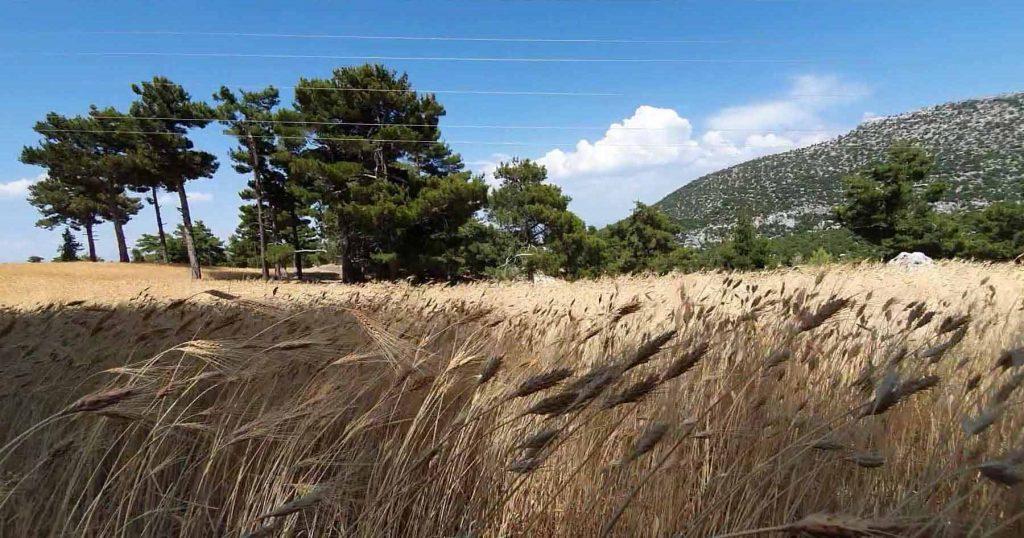 Buğday: 10 bin yıllık yoldaşımız